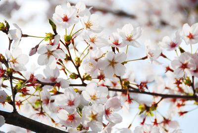 2011年4月11日さくら03.jpg