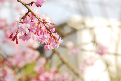 2011年4月11日さくら05.jpg