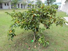 IMG_0507柿の木.JPG